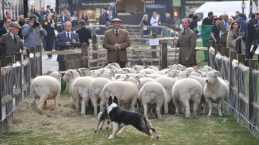 Savile Row Sheep